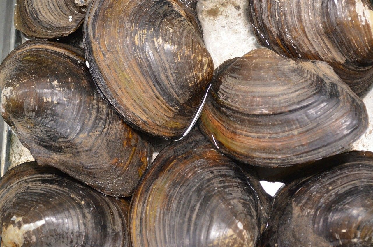 Clams, the iron-rich champions