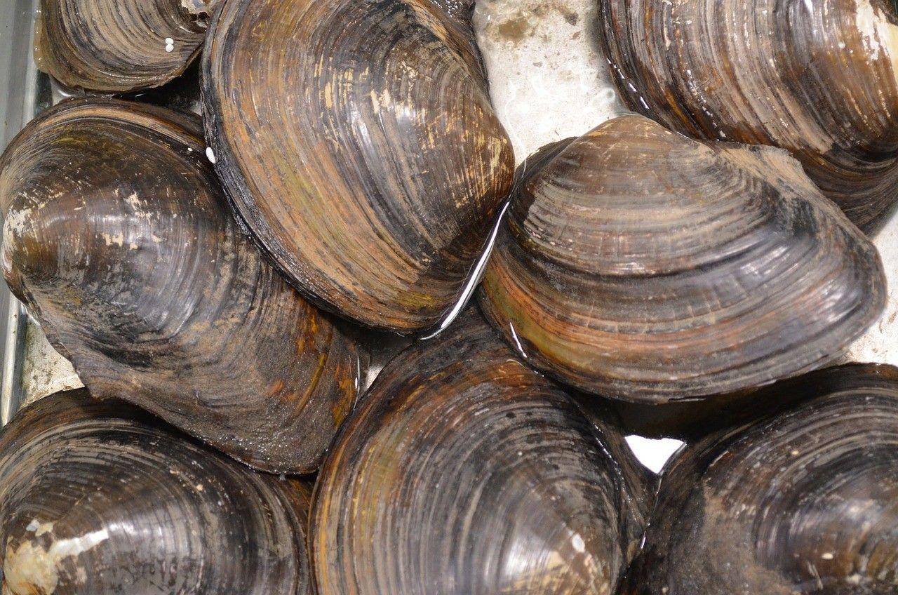 clam-82986_1280