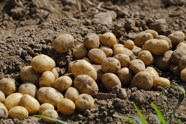 En défense de la pomme de terre