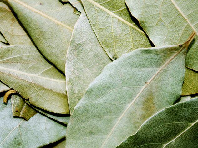 laurier bay leaf