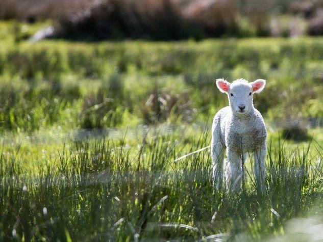 agneau lamb