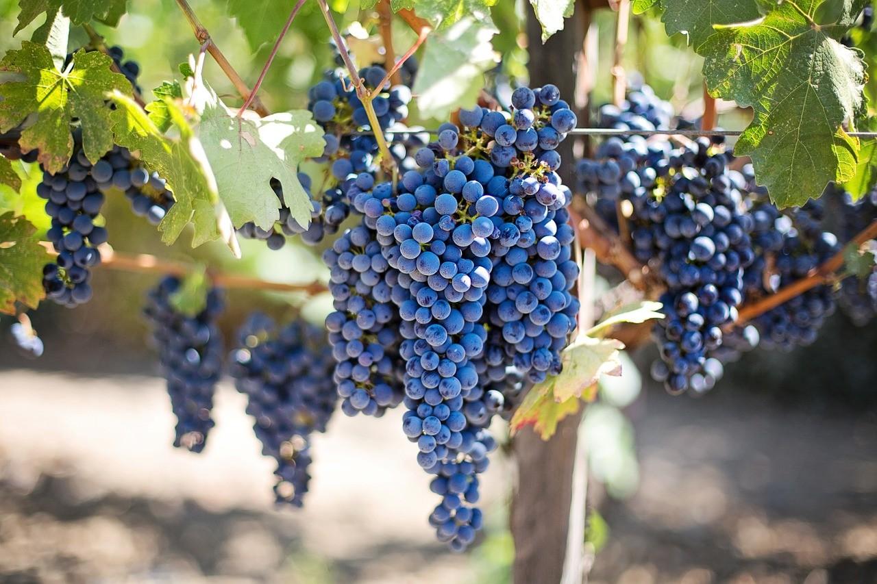 des raisins sur la vigne, grapes on the vine