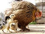 urban hens