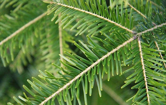 epinette-spruce