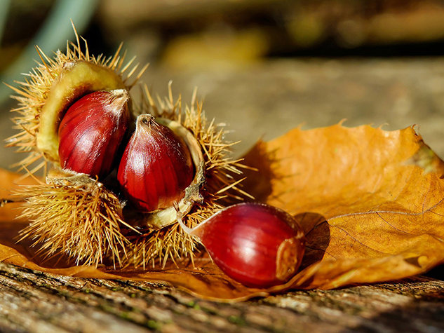 Chestnut, Fruit of the 'Bread Tree'