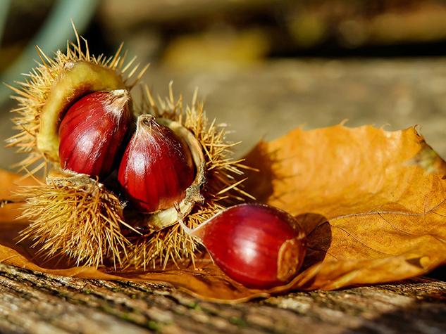 La châtaigne, fruit de « l'arbre à pain »