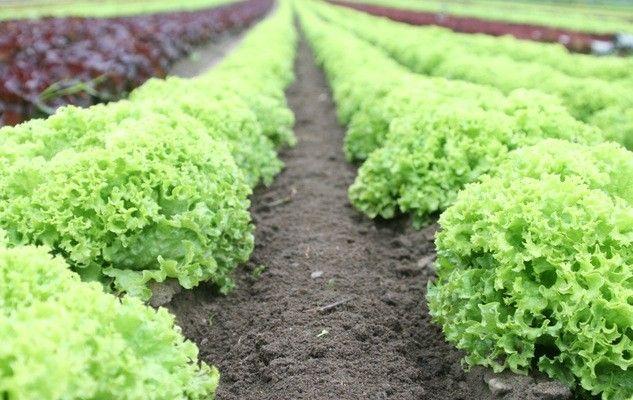 lettuce-chicoree
