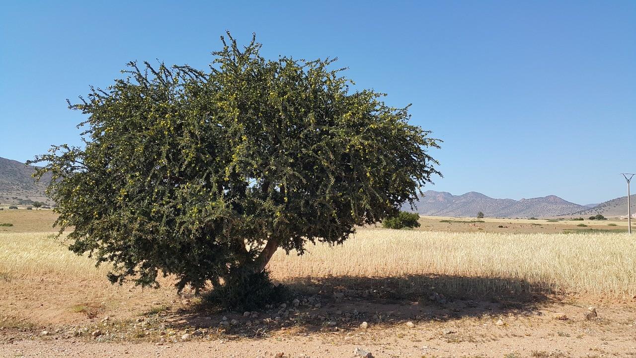 argan tree, arbre d'argan