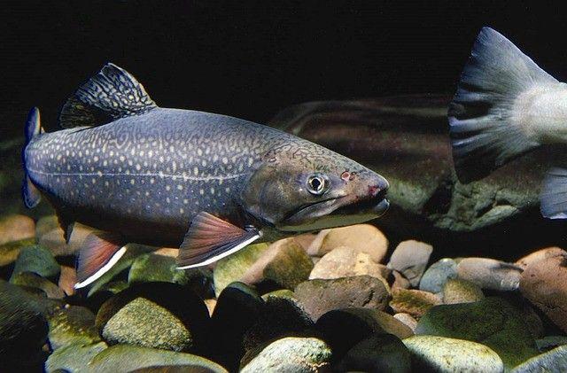 trout-truite