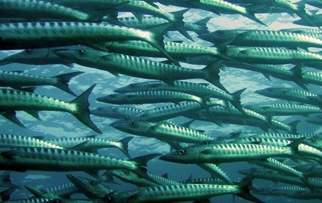 fish-swimming