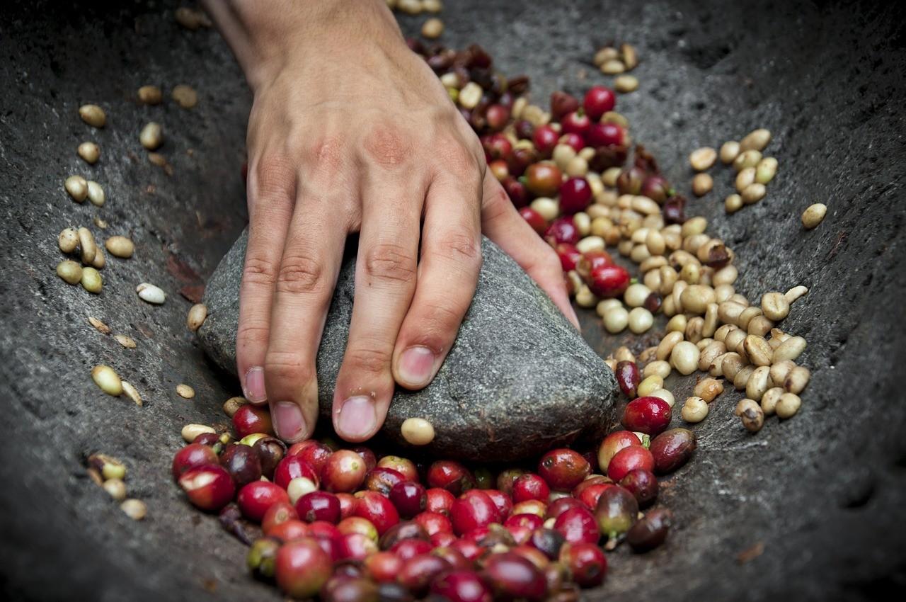 raw coffee berries, baies de café
