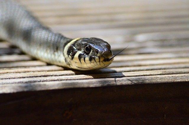 grass-snake-379025_640