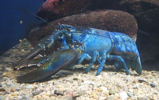 blue-lobster-homard-bleu