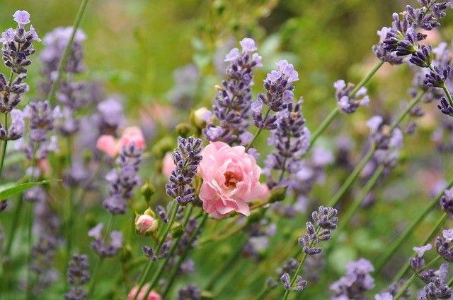 lavender-lavende