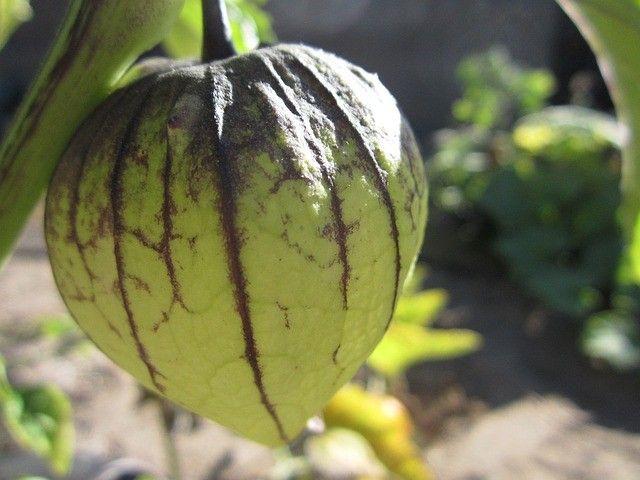 tomatillo-1511524_640