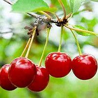 sour_cherry