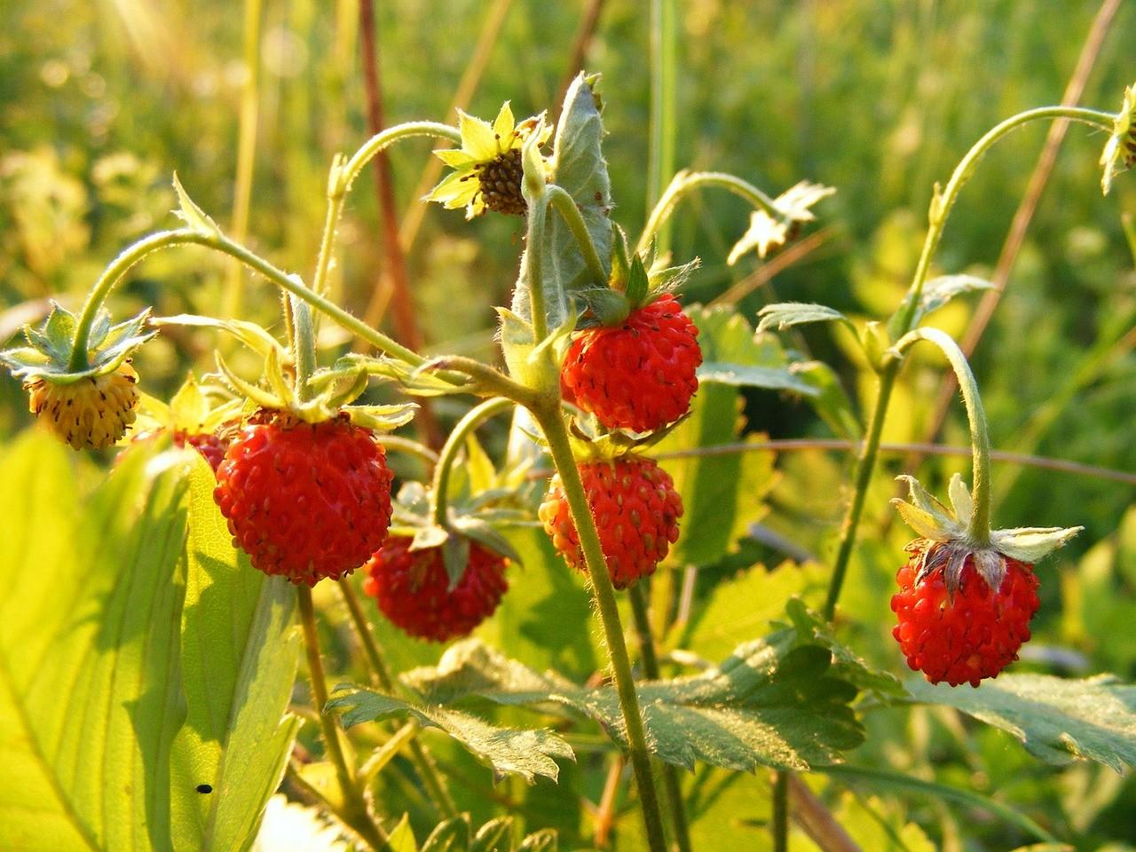 des fraises sauvages