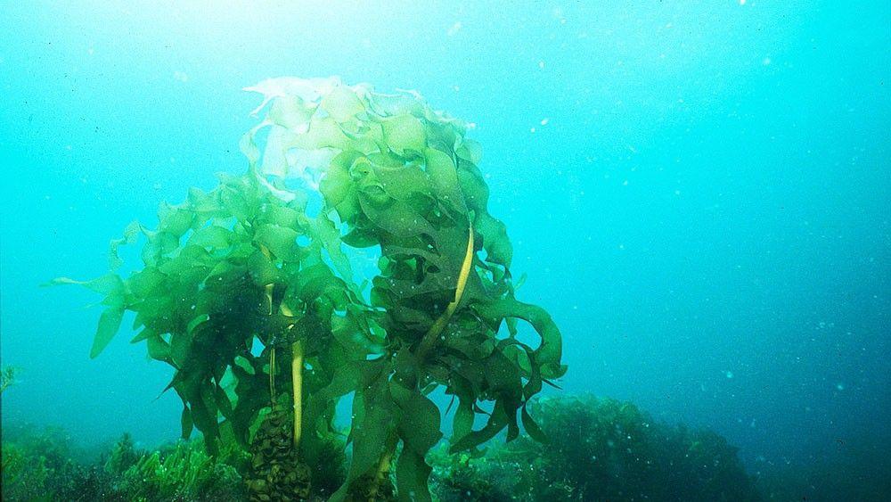 wakeme-seaweed-algues