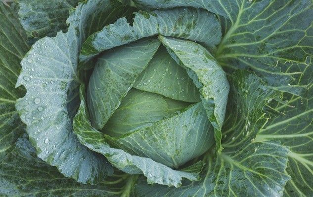 cabbage-chou