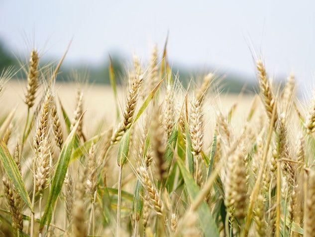 wheat blé