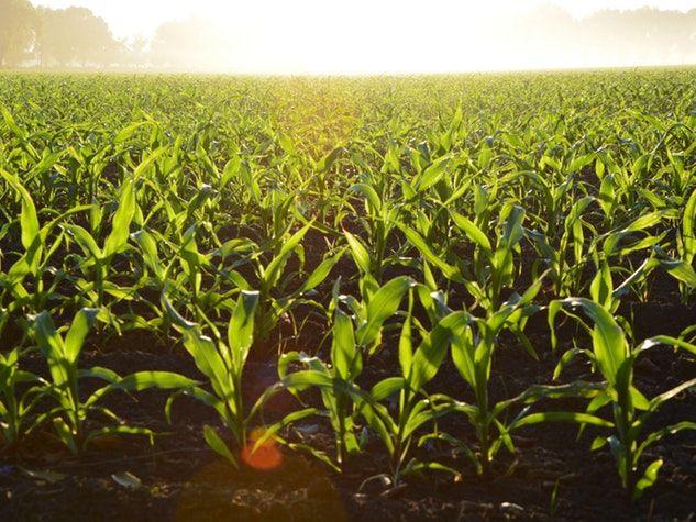 plant field champ plante corn maïs