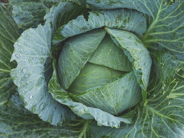 chou cabbage