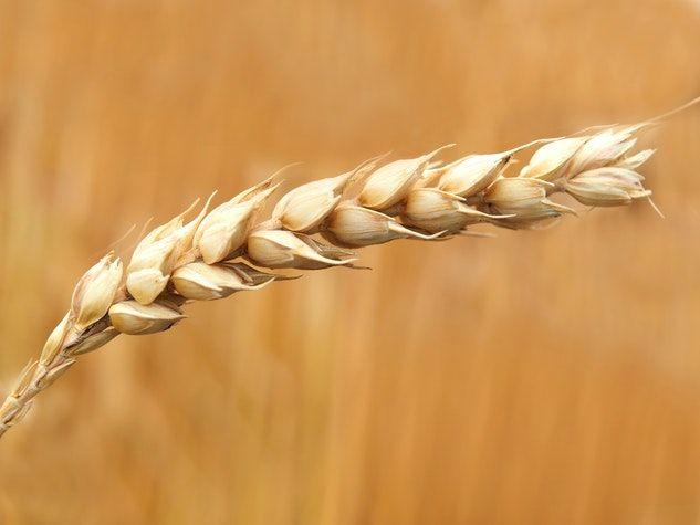 blé fructane wheat