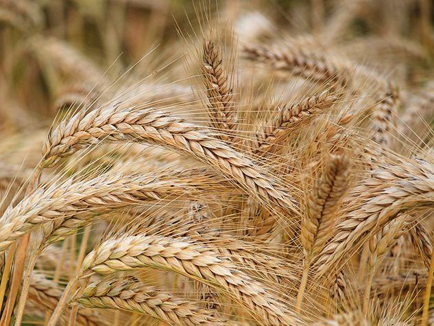 orge barley